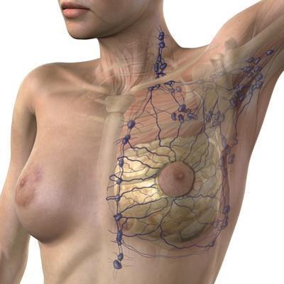 Breast Lymphatic System, Artwork