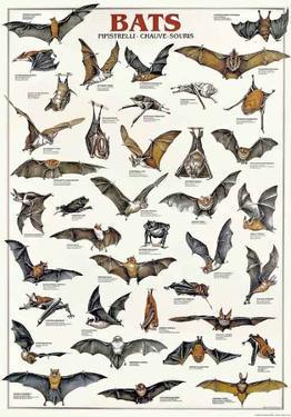 Breeds Of Bats (Italian)