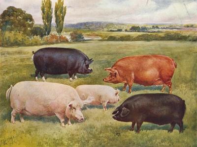https://imgc.allpostersimages.com/img/posters/breeds-of-pigs-c1902-c1910_u-L-Q1EFKW90.jpg?artPerspective=n