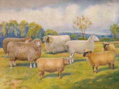 https://imgc.allpostersimages.com/img/posters/breeds-of-sheep-c1902-c1910_u-L-Q1EFMPD0.jpg?artPerspective=n