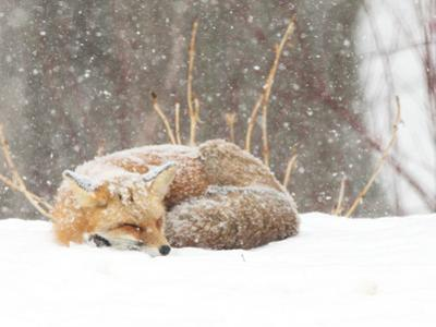 Red Fox sleeping in snow in Maryland by Brenda Johnson