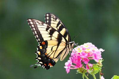 Tiger Swallowtail butterfly in Maryland by Brenda Johnson