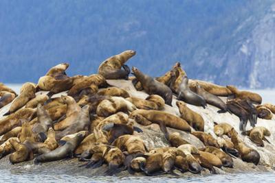 Alaska, Glacier Bay. Stellar sea lions hauled out to warm up on rocks. by Brenda Tharp