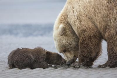 Coastal Grizzly bear cub begs for a clam. Lake Clark National Park, Alaska. by Brenda Tharp