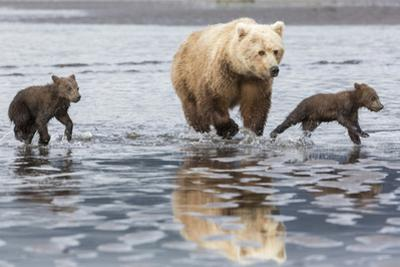 Coastal Grizzly bear mother and cubs run across mud flat, Lake Clark National Park, Alaska. by Brenda Tharp