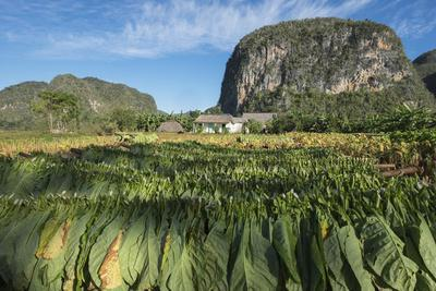 Cuba, Vinales. Tobacco Leaves Dry Outdoors on Racks on a Traditional Farm