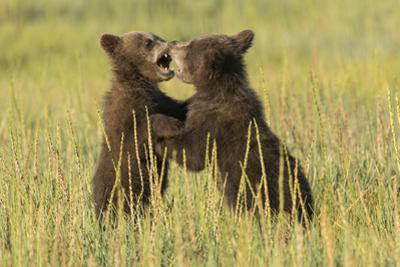 Grizzly bear cubs playfighting in a meadow. by Brenda Tharp
