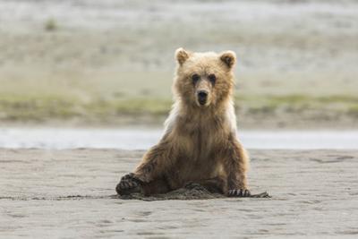 Immature coastal grizzly bear sits on beach. Lake Clark National Park, Alaska. by Brenda Tharp