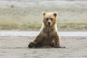 Immature coastal grizzly bear sits on beach. Lake Clark National Park, Alaska. by Brenda Tharp