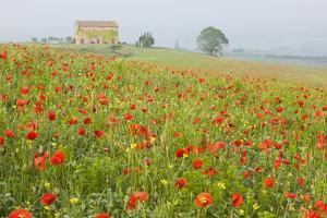 Italy, Tuscany. a Foggy Morning Amidst a Field of Poppies by Brenda Tharp