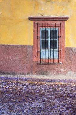 Mexico, San Miguel de Allende. Jacaranda blossoms carpet the cobblestones by Brenda Tharp