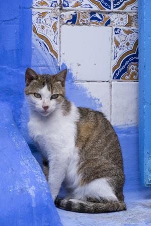 Morocco, Chefchaouen. A village cat sits against blue walls and tiles.