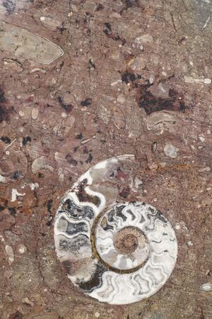 Morocco, Erfoud. Details of ammonites, and other fossils exposed on a cut slab of stone.