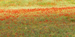Painterly effect on a photograph of poppies in an Italian meadow. by Brenda Tharp
