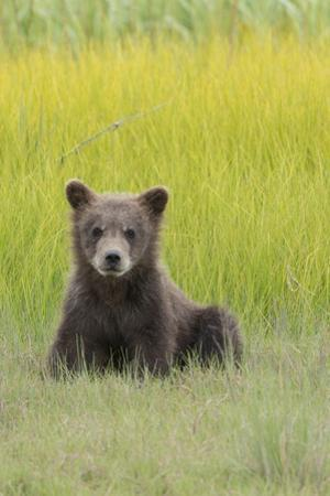 USA, Alaska. Grizzly bear cub sits in a meadow in Lake Clark National Park. by Brenda Tharp