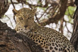 Wild leopard resting in tree in eastern Etosha National Park, Namibia, Africa. by Brenda Tharp