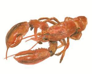 Lobster 1 by Brenna Harvey
