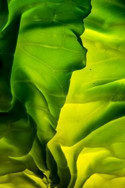 Cabbage detail showing veins. Lit from within. by Brent Bergherm