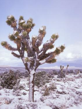 Joshua Trees Grow in the Foothills Leading to Mt. Charleston, north of Las Vegas, Nevada, USA by Brent Bergherm