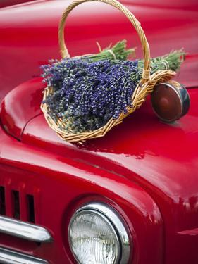 Lavender Bunches Rest on an Old Farm Pickup Truck, Washington, USA by Brent Bergherm