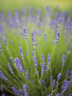 Lavender Plants, Washington, USA by Brent Bergherm