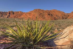 Nevada. Red Rock Canyon. Mojave Yucca Amidst the Desert Landscape by Brent Bergherm