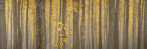 USA, Oregon, Morrow County. Poplar Trees at the Boardman Tree farm. Panorama. by Brent Bergherm