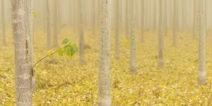 USA, Oregon, Morrow County. Poplar Trees at the Boardman Tree farm. by Brent Bergherm
