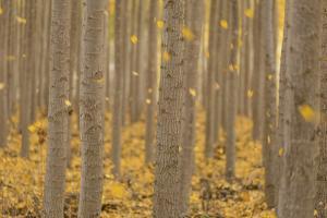 USA, Oregon, Morrow County. Poplar Trees at the Boardman Tree farm. by Brent Bergherm