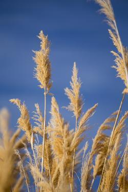 Washington, Walla Walla. Mcnary NWR, Ravenna Grass by Brent Bergherm