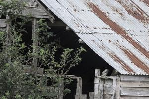 Adult Little Owl (Athene Noctua) Peering Out from an Old Barn by Brent Stephenson