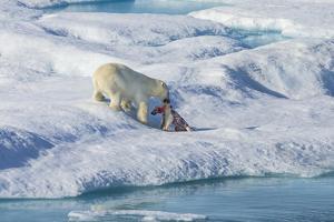 Male Polar Bear (Ursus Maritimus) Feeding on a First Year Polar Bear Cub it Has Just Killed by Brent Stephenson