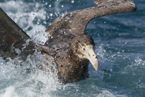 Northern Giant Petrel (Macronectes Halli) Moving Through Water by Brent Stephenson