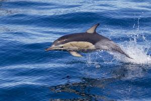 Short-Beaked Common Dolphin (Delphinus Delphis) Breaking the Surface and Leaping from the Water by Brent Stephenson