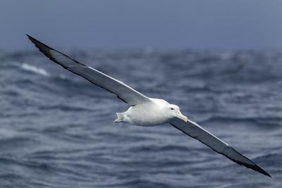 Southern Royal Albatross (Diomedea Epomophora) Flying Low over the Sea
