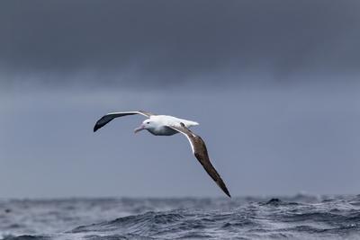 Southern Royal Albatross (Diomedea Epomophora) Flying over Sea