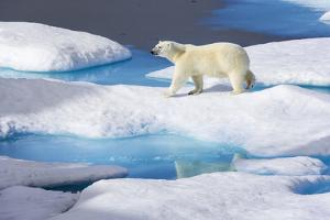 Young Polar Bear (Ursus Maritimus) Walking across Melting Sea Ice by Brent Stephenson