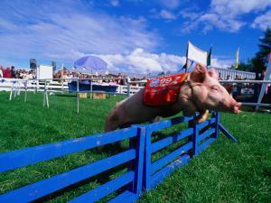 All Alaskan Racing Pig Jumping Fence in Race at Alaska State Fair, Palmer, Alaska by Brent Winebrenner