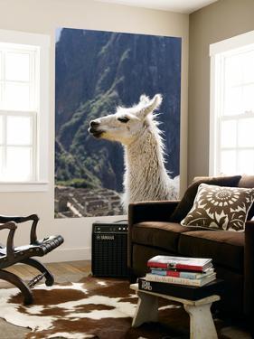 Llama (Lama Glama) by Brent Winebrenner