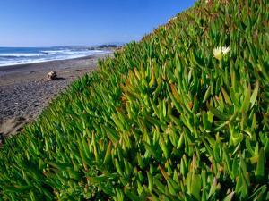 Succulents along the San Simeon Coastline, San Simeon, California, USA by Brent Winebrenner