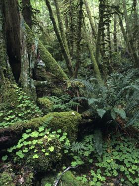 Temperate Rainforest with Ferns and Moss-Covered Tree Trunks by Brent Winebrenner