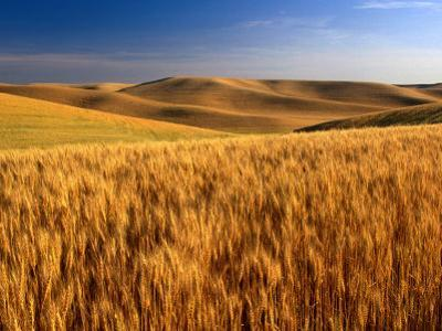 Wheat Fields, Palouse, USA by Brent Winebrenner