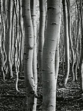Aspens, Utah, 1972 by Brett Weston