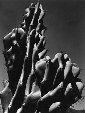 Cactus, 1934 by Brett Weston
