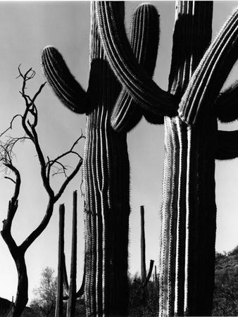 Cactus, c. 1965