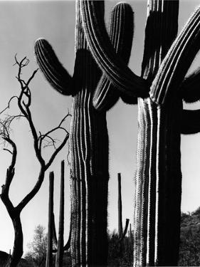 Cactus, c. 1965 by Brett Weston