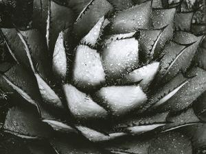 Century Plant, c. 1975 by Brett Weston