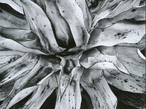 Dead Plant, Baja California, c. 1960 by Brett Weston