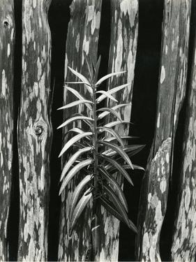 Fence and Plant, 1951 by Brett Weston