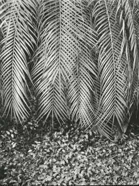 Fern, Small Leaves, Bronx Botanical Garden, New York, 1945 by Brett Weston